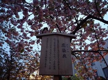 hanazomei.jpg
